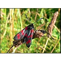 insect six spot burnet moth