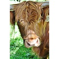 One of my cousins very nosy highland cattle