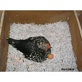 brooding hen recycling paper egg