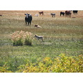 Coyote cow cattle wildlife