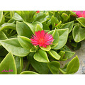 pink green flower leaves