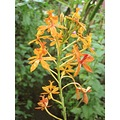 This is the petit orange ground orchid. 