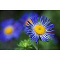 flower nature summer blue nikon sigma macro closeup pleven bulgaria