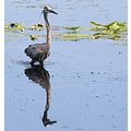 Great Blue Heron bird reflection Tampa Florida