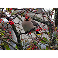waxwing bird garden redberries tree stornoway isleoflewis scotland