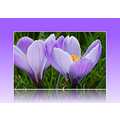 nature crocus spring