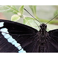 butterfly black blue