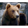 brown forest bear closeup face resting relaxed animal