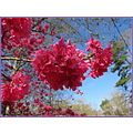 It's that time of year again when the Vietnamese Cherry tree is in full bloom.  I'm not sure it i...