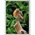 This young Robin seems to have chosen our garden as part of his territory. He is always around, c...
