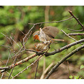 robin erithacus rubuncula nature wildlife mating