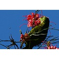lorikeet animal eating