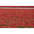tulips field flowers red jeever jolie holland