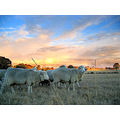 sheep Australia sunset farm nature PreRaphaelite