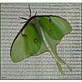 Luna Moth From the Great Silkworm Family