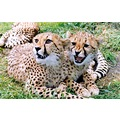 Cheetah cubs at Fota Island Wildlife Park Co. Cork.