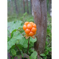 cloudberry nature wildlife