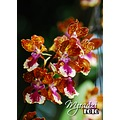 Oncidium spp