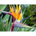 flower birdofparadise nature closeup