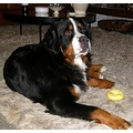 netherlands bussum animal dog bernese castor nethx bussx animx dogx
