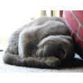 british shorthair cat kitten feline animal pet