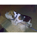 beagle little dog puppy sweet westi white