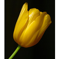 yellow tulip green stem flower