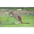 snack kangaroo branches mate group pets perth hills littleollie