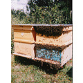 bees inect nature beehives