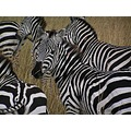 zebras, obviously
