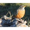 From farther away, the American Robin