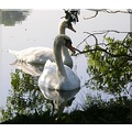 netherlands loosdrecht reflectionthursday swan nethx loosx waten laken swanx
