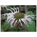 horsemint wildflower nature