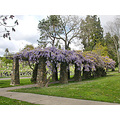 wisteria spring cemetery cemeteryfph oakland trees