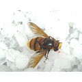 wasp wasps sting white ice cold wings yellow black veins