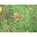 fox animal wildlife nature