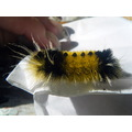 YELLOW BLACK RED CATTEPILLAR