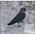 snow winter jackdaw bird