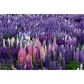 More lupins from the MacKenzie country in New Zealand