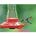 Hummingbirds in HMBPA's yard. 