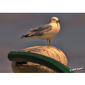 bird animal gull sunset