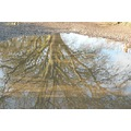 puddle tree reflection