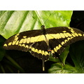 Butterfly Nature Black Gold