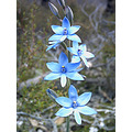 Blue Lady Orchid Plant Flower