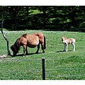 miniature horse countrylife