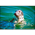 Harbour Seal Kinsale Cork Ireland Peter OSullivan
