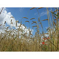 corn blue sky grass