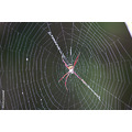 SIGNATURE SPIDER Nandan Tavanandi insects creatures Nameri Assam