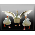 goose animals photoshopped
