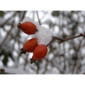 winter fruit dogrose red